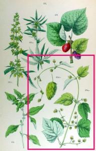 Humulus LupulusH
