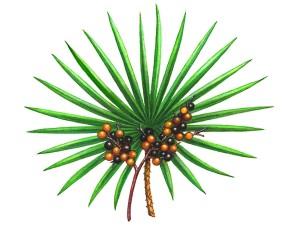 Fűrész pálma
