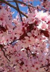 Virágzó acerola fa