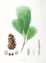 Pinus koraiensis (koreai selyem fenyő)